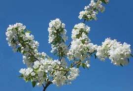 Crab-apple blossoms in our orchard (May 2013)