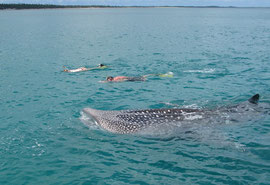 Tanzania, Mafia island: this whale shark's mouth is wide open as it trolls for plankton
