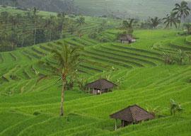 Bali: rice terraces at Jatiluwih