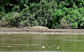 Tanzania, Selous game reserve: a crocodile basking on the bank of the Rufiji river