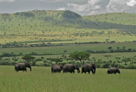 Tanzania, Klein's Camp: a herd of female elephants