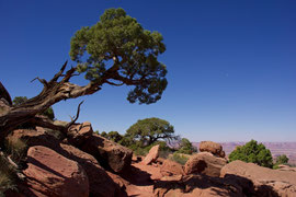 Canyonlands National Park, Utah: a windblown Juniper at Grand View Point Overlook (Pinyon pine to right)