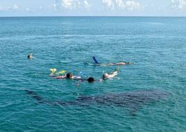 Tanzania, Mafia island: Snorkelling with whale sharks