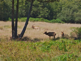 California, Prairie Creek Redwood State Park: Roosevelt elks in Elk Meadow