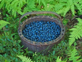 A basket of blueberries collected from a nearby farm (August 2011)