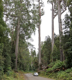 Tasmania, Derwent District: tall eucalyptus trees along the Florentine Road at Lady Binney Reserve