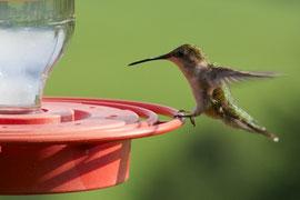 A juvenile female ruby-throated hummingbird at a feeder