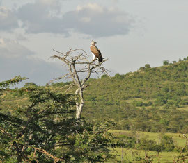 Tanzania, Selous game reserve: a Martial eagle