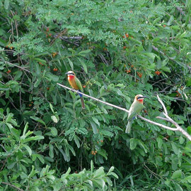 Tanzania, Selous game reserve: white-fronted bee-eaters