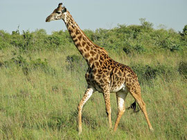 Tanzania, Klein's Camp: a female giraffe in search of her calf, which was killed and eaten a day earlier by lions