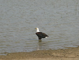 Tanzania, Selous game reserve: an African fish eagle