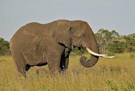 Tanzania, Klein's Camp: a lone bull elephant