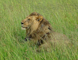 Tanzania, Klein's Camp: the male watches as one lioness approaches