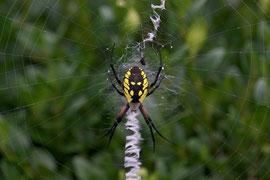 A black & yellow Argiope garden spider