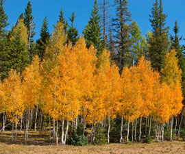 Arizona, Grand Canyon: aspens on the approach to the North Rim