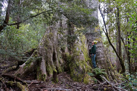 Tasmania, Hopetoun (Johns Road). Shane Burgess at the base of an E. globulus (blue gum) named Grieving Giant (82.3 m tall x 554 cm girth), the State's largest tree by volume
