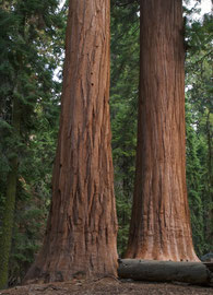 California, Sequoia National Park: the Giant Forest