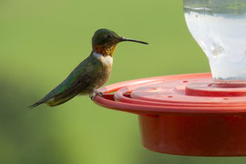 An adult male ruby-throated hummingbird