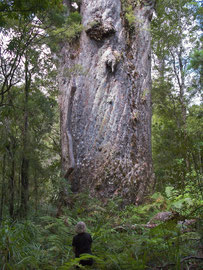 New Zealand, Northland: Bryce at the foot of Te Matua Ngahere, a kauri tree in Waipoua forest (16.41 m. girth)