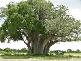 Tanzania, a baobob tree near Lake Manze in the Selous National Park