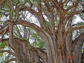 Mexico: the branches of the 1600 year old cypress (taxodium) tree at Tule, near Oaxaca are the size of normal trees