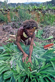 PNG, Southern Highlands: Tabulu places red melita nuts, wrapped in fern leaves, to bake in a pit of hot stones and leaves