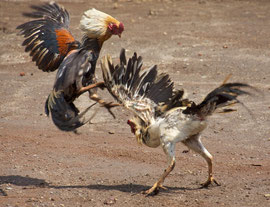 ava, Windusari area: two village roosters fighting