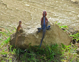 Tanzania, Klein's Camp: a pink and blue agama lizard (right) and his less colourful mate