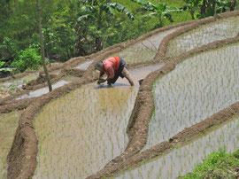 ava, Magelang/Winusari area: woman planting rice