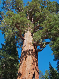 California, Yosemite National Park: top of sequoia named the Grizzly Giant in Mariposa Grove