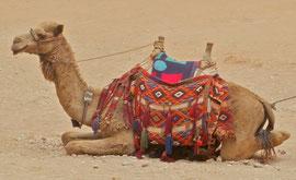 Jordan, Petra:a camel