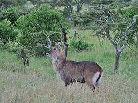 Tanzania, Klein's Camp: a water buck
