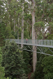Tasmania: Bryce on the Tahune Airwalk, surrounded by tall eucalyptus trees