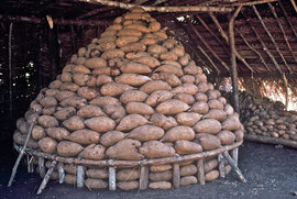 PNG, Trobriand Islands: yams on display in a garden hut near Kapwani village
