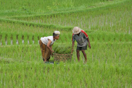 Bali, Ubud: farm couple collecting fodder for their livestock from rice fields near the Sari Organic restaurant