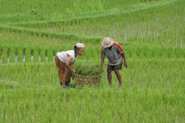 Bali, Ubud: farm couple collecting fodder for their livestock from rice fields near the Sari Organic restaurant
