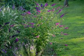 A Buddleia bush in our hummingbird / butterfly garden (August 2013)