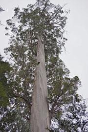 Western Australia: a karri tree (Eucalyptus diversicolor)