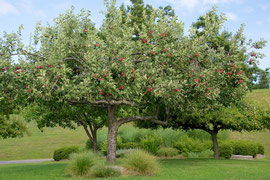 One of our productive apple trees (August 2013)