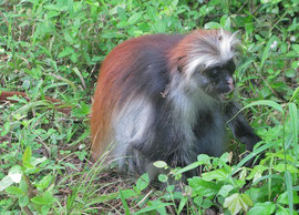 Tanzania, Zanzibar island: Kirk's red colobus monkeys (named after Sir John Kirk), an endangered species found only on Zanzibar island, which have four fingers but no thumbs