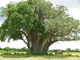 Tanzania, Selous game reserve: our Land Rover beneath an ancient baobob tree