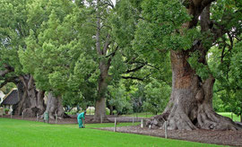 South Africa: a row of camphor trees (Cinnamomum camphora) at Vergelegen, planted between 1700-1706)