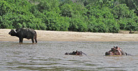 Tanzania, Selous game reserve: hippos and a male buffalo