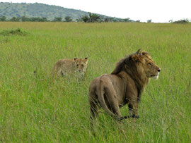 Tanzania, Klein's Camp: the male suddenly rose to his feet, bared his fangs, snarled, and drove her away