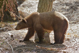California, Sequoia National Park: a black bear at Crescent Meadow