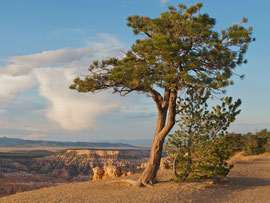 Utah, a pine tree overlooking Bryce Canyon