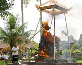 Bali, Payangan: Pelebon ceremony. Attempting to dislodge the flaming bull's head