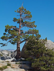 California, Yosemite National Park: a Jeffrey pine at Olmsted Point on the Tioga Pass road