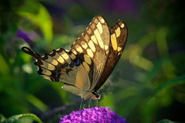 A swallowtail butterfly sipping nectar from a Buddleia blossom