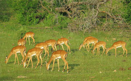 Tanzania, Selous game reserve: the male impala's harem, which he keeps in check with a great deal of snorting